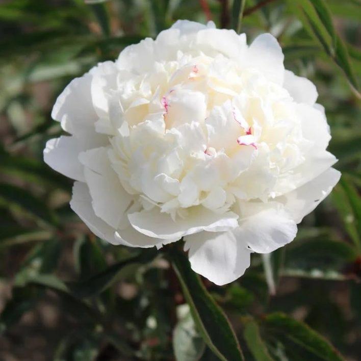 Garden Peony – White