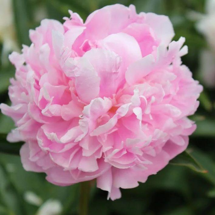 Garden Peony – Pink
